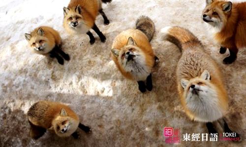 藏王狐狸村-苏州日语学习-苏州日语培训