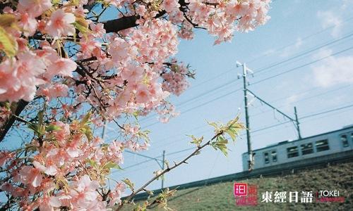 日本樱花-日本赏樱胜地