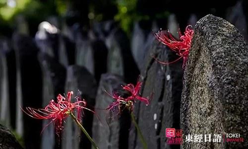 彼岸花-日本人对彼岸花的观点