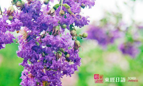 紫薇花日语-苏州园区日语培训-苏州新区日语培训