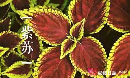 紫苏的日语说法-紫苏日语